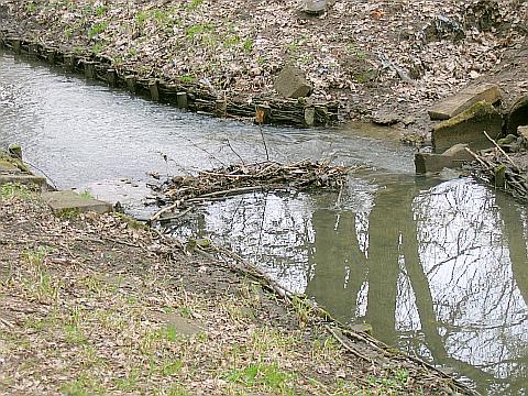 Bobry znów siê panosz± na kanale Bródnowskim