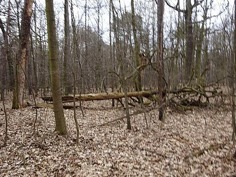 Las Biela�ski usycha? Cmentarzysko drzew