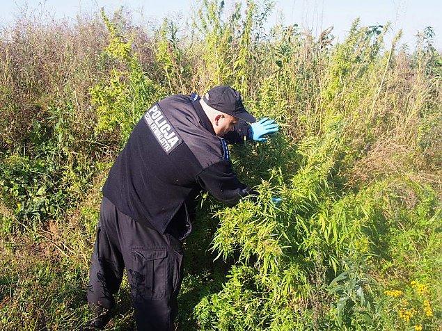 Pola marihuany w Jab³onnie i Legionowie