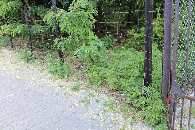 Marihuana w Rado¶ci. Policja zniszczy³a 168 krzewów