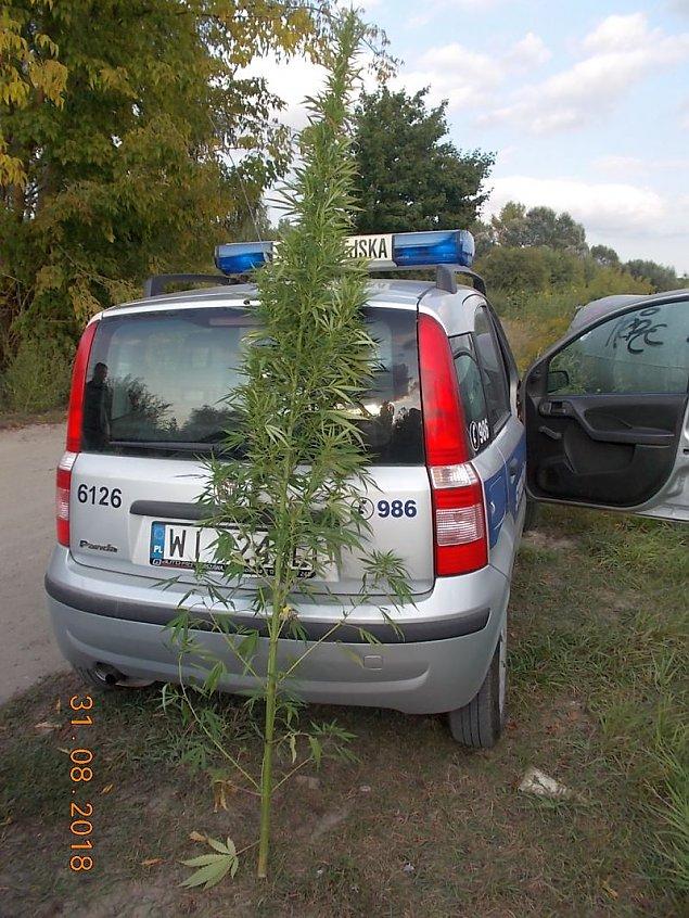 """Marihuana nad zalewem. """"Krzaki po 2,5 metra"""""""