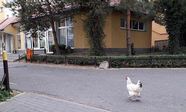 """Kura w wielkim mie�cie. """"Totalnie wyluzowany ptak"""""""