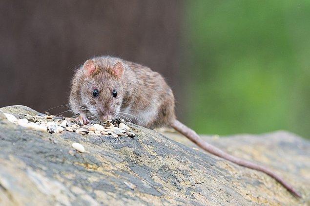 Uwaga, zagro�enie dla czworonog�w! Trutki na szczury na osiedlach