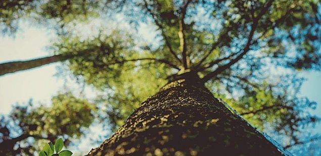 M�yn�w: prawie 300 zdrowych drzew do wyci�cia