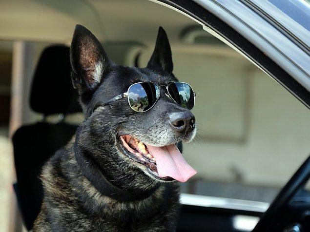 Najdzielniejszy pies Warszawy odchodzi na emeryturê