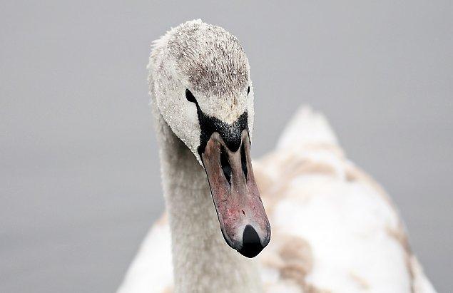 Ptasia grypa w pobli¿u Legionowa. Potwierdzony przypadek na Jeziorze Wieliszewskim