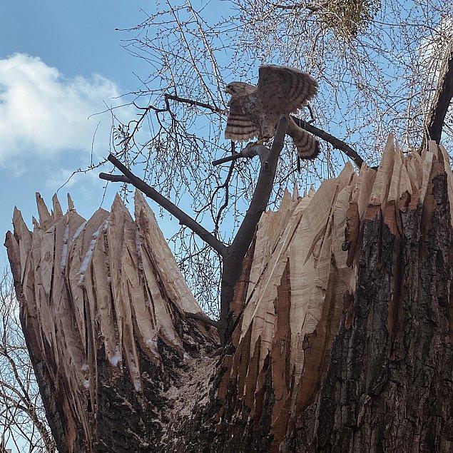"""""""Pustu³ka"""" zamieszka³a w pniu ¶ciêtego drzewa"""