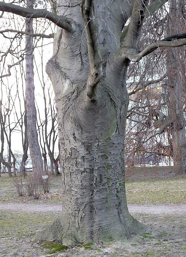 Zieloni ¶wiadkowie historii. Buki z Ulrychowa maj± 130 lat