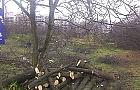 Wycinaj� drzewa na Zielonych Odolanach. Dlaczego?