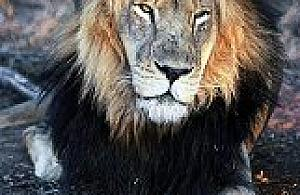 Adoptuj lwa - projekt Fundacji Moja Afryka