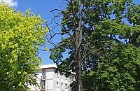 Wielkie suche drzewo w Alei Zjednoczenia. Kiedy je wytn�?