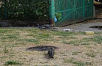 Polowanie wolskiego kota