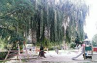 """Okaza�e drzewo przy Arki Bo�ka do �ci�cia. """"Sp�dzielnia idzie na �atwizn�"""""""
