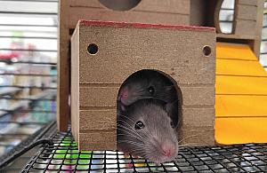 Szczury w ratuszu. Nietypowa wystawa na Bielanach