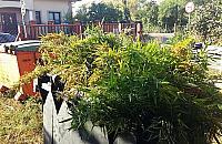 """Marihuana w Marysinie. """"Policjanci zniszczyli 47 krzew�w"""""""