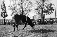 """Pas±ce siê krowy i ¶l±skie """"parówy"""". Taka by³a Marymoncka"""