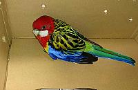 Komu zaginê³a papuga? Rozella czeka w ZOO