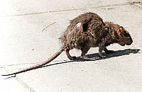 Szczur utkn±³ w toalecie. Miasto bezradne