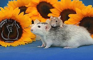 Szczury w ratuszu. Nietypowa impreza na Bielanach