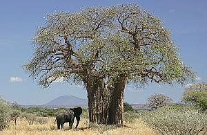"Baobab na Bródnie? ""Móg³by staæ siê symbolem"""