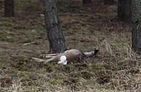 Lasy Choszczówki niebezpieczne dla zwierz±t? Winni ludzie