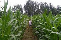 Labirynt w¶ród kukurydzy nad Kana³em ¯erañskim
