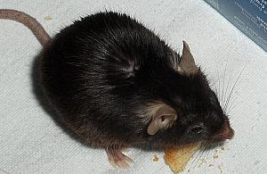 Hodowla szczurów w mieszkaniu na Wawrzyszewie. S±siedzi protestuj±