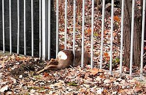 Sarna uwiêziona w ogrodzeniu. Ekopatrol w akcji