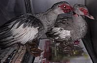"""""""Dziwne ptaki"""" na Kêpie Potockiej. Kto¶ wypu¶ci³ je celowo"""