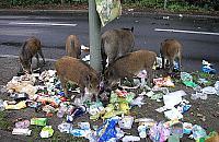 Kolejny odstrza³ dzików. My¶liwi w lasach Wawra i Bia³o³êki