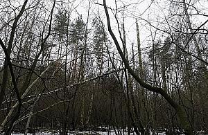"""Wielka wycinka w lesie Br�dnowskim. """"Natura sobie nie radzi"""""""