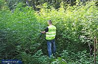 Plantacje marihuany w Jab�onnie i w Legionowie