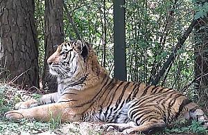 """Nie dla Wawra tygrysy. """"Nie mamy zezwole�"""""""