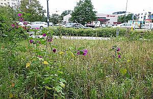 Legionowo w polnych kwiatach. £±ki zast±pi± trawniki