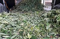 Plantacja marihuany niemal w centrum Warszawy. Zlikwidowano 1300 krzak�w