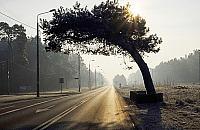Najpi�kniejsza sosna Warszawy o krok od zwyci�stwa. Ostatni dzie� g�osowania