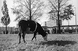 Pas±ce siê krowy i ¶l±skie parówy. Taka by³a Marymoncka