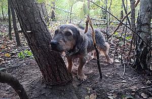 """Kto porzuci³ psa w lesie? """"By³ przywi±zany ³añcuchem do drzewa"""""""