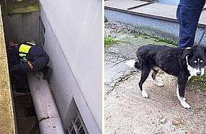 Pies w tarapatach. Akcja stra¿ników na Wolskiej