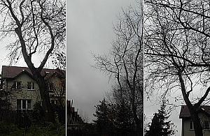 Biurokratyczny absurd. Drzewo mo¿e wyci±æ tylko w³a¶ciciel, który nie ¿yje