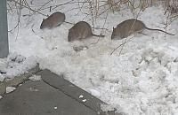 Szczury przysz³y na przystanek przy Toruñskiej. Czy jest siê czego baæ?