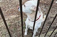 Zagryz³ maltañczyka, zaatakowa³ yorka. Agresywny pies mieszka przy Sobieskiego?