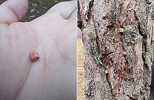 """Trutka na szczury w korze drzew na Lucerny. """"Uwa¿ajcie na swoje psy"""""""