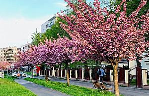 Wiêcej drzew i krzewów na Bielanach. Zdecydowali mieszkañcy