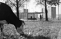 Patodeweloperka pó³ wieku temu. Obok bloków pas³y siê krowy